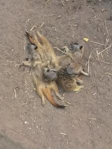 surikater